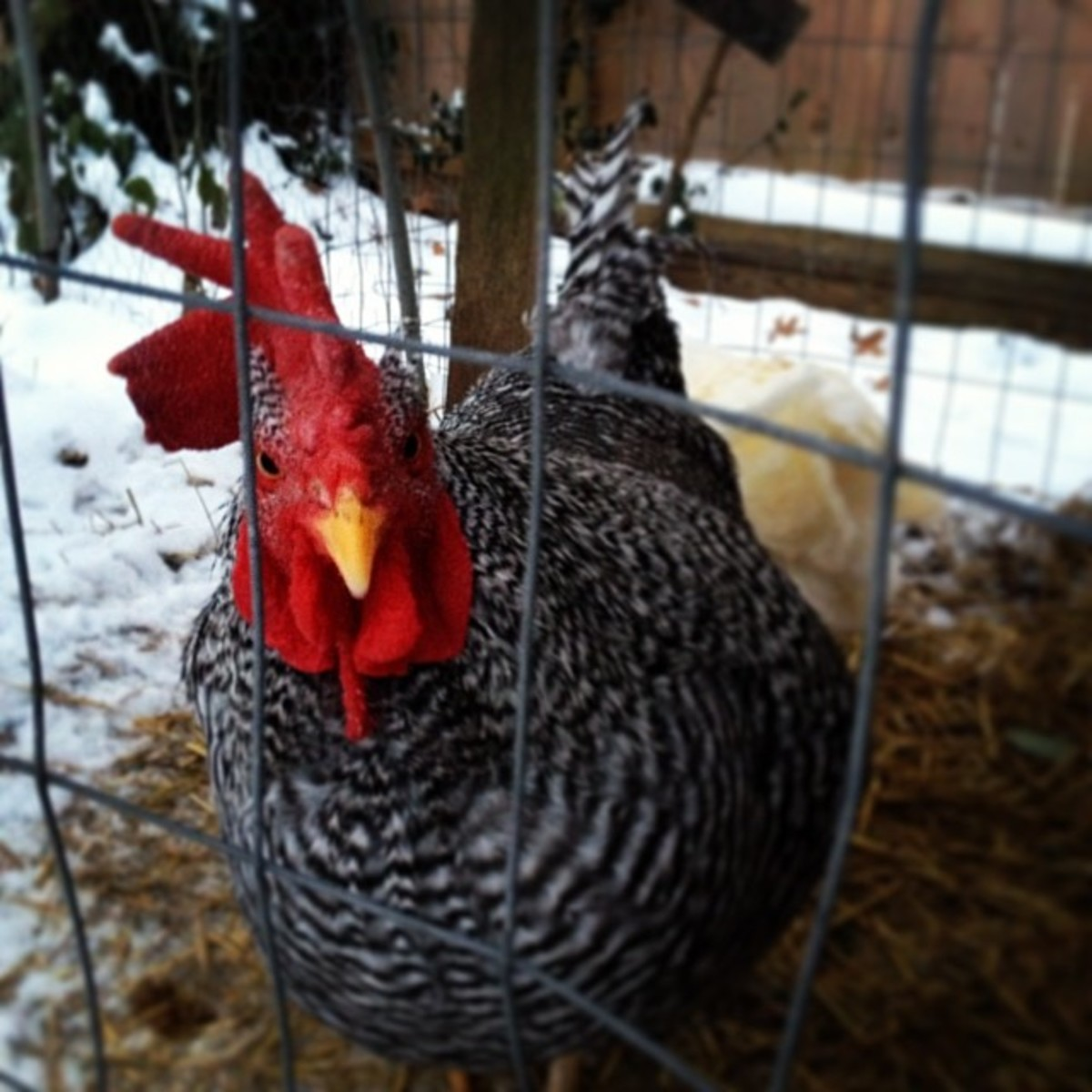 I acquired Zeus from an ad for a free rooster on CraigsList.