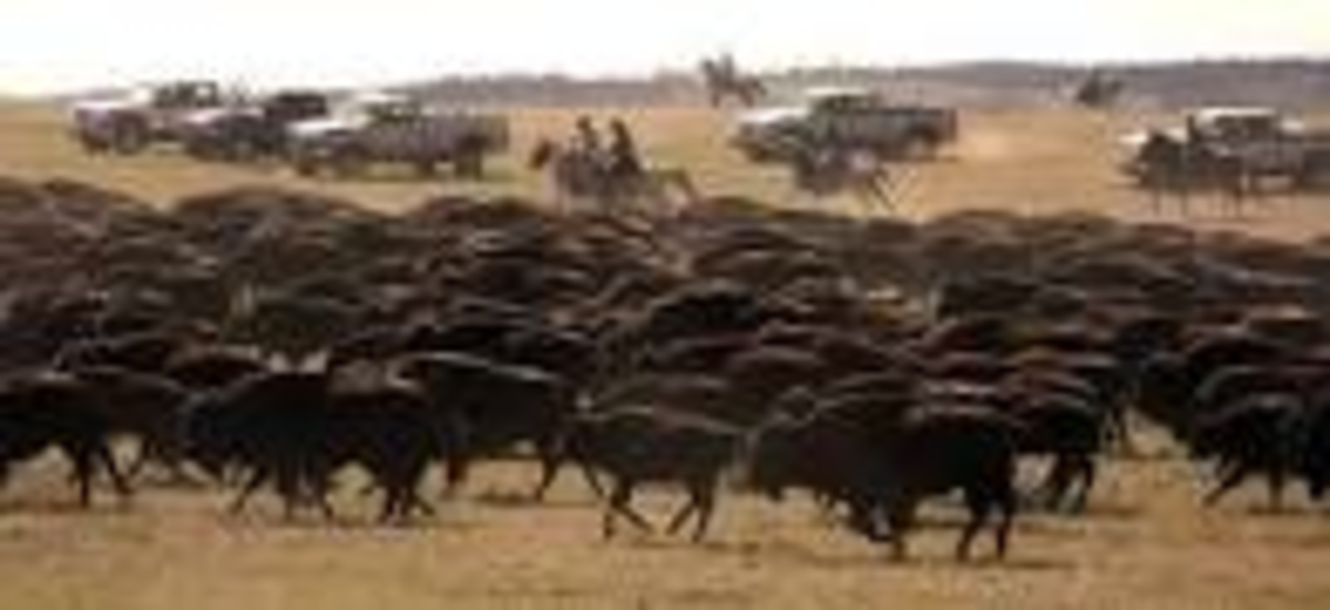 Buffalo Roundup, Custer State Park, SD