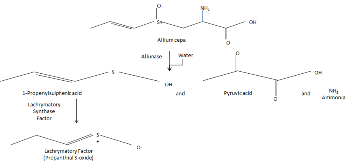 This shows the chemistry behind why onions make you cry on a molecular level.  (Part 1)