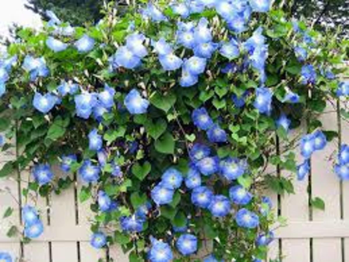 The Blue Morning Glory is cascading down my wooden fence.
