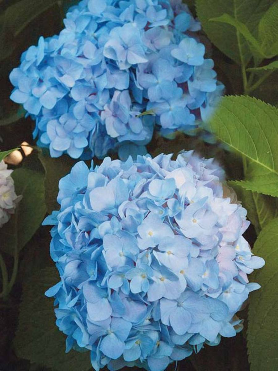The Hydrangea will bloom blue if it is planted in acid soil.