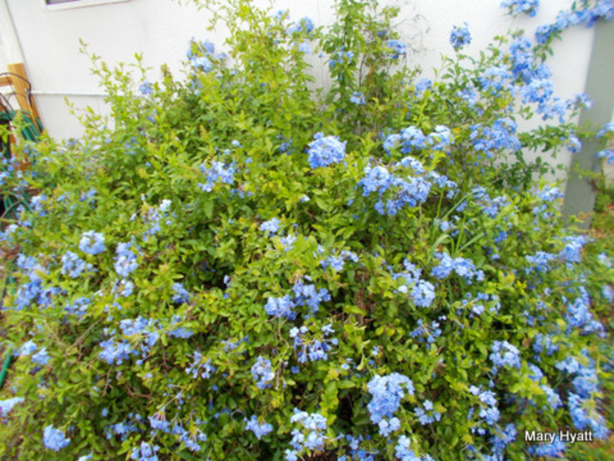 My Plumbago is now in full bloom.  It is filled with hundreds of tiny clusters of blue flowers.