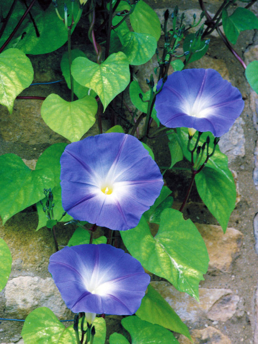 The Blue Morning Glory opens every morning in all its beauty to greet a new day!