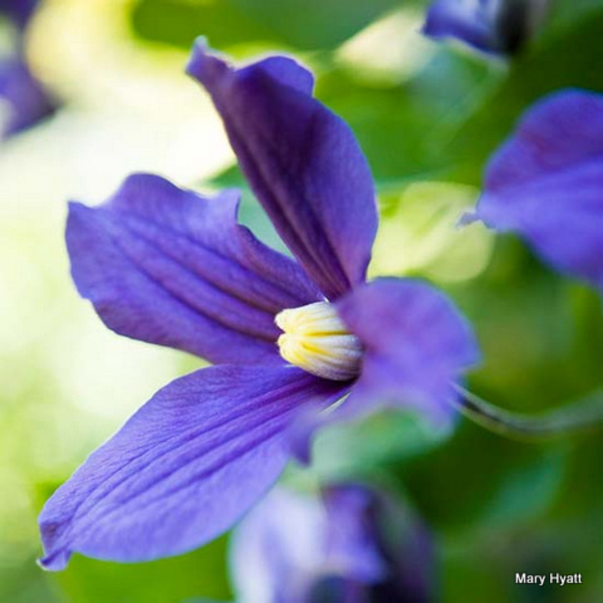 The Blue Clematis is another blue favorite of mine.  It makes a beautiful and hardy vine.