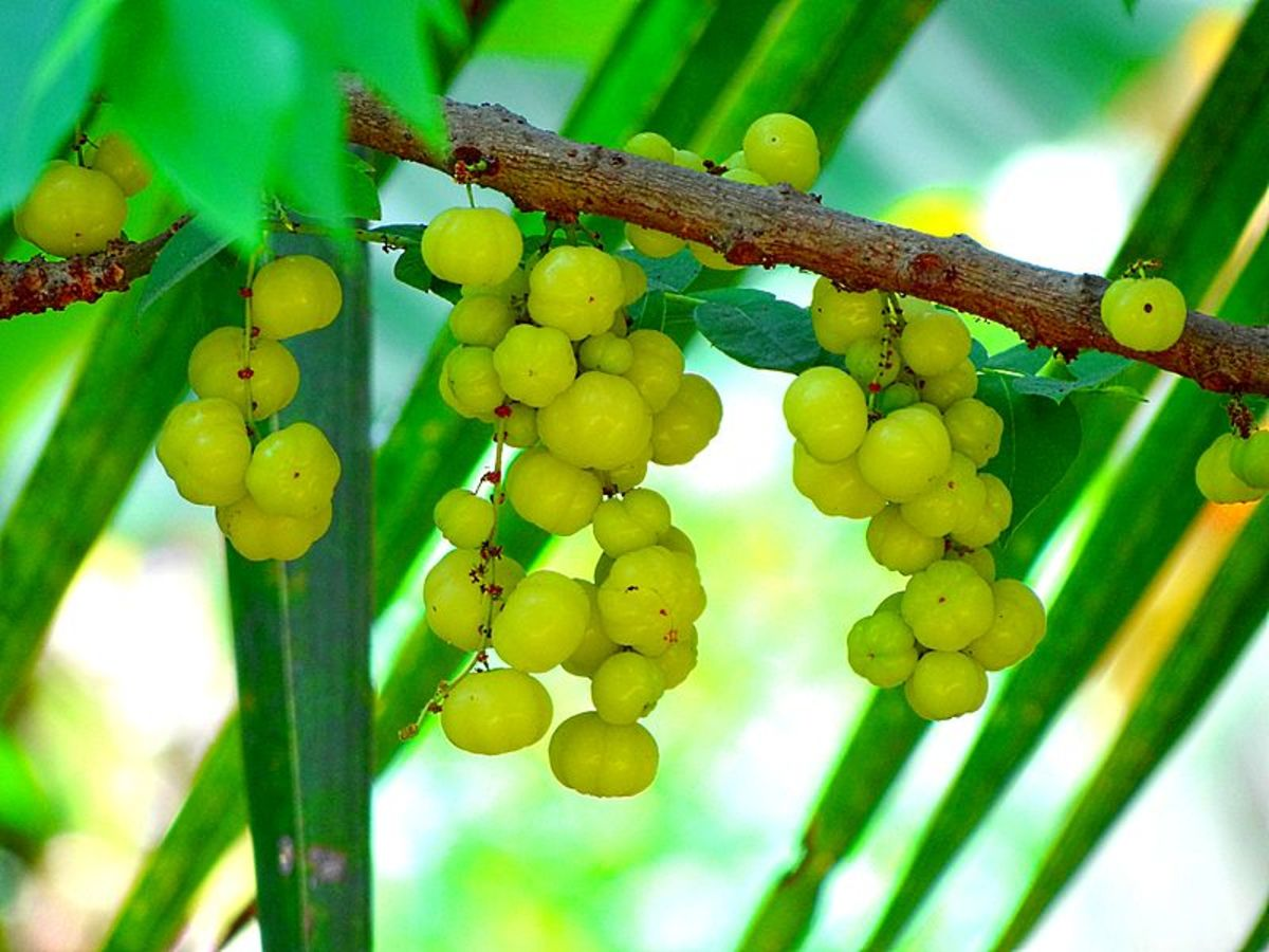 Indian Gooseberry, more commonly known as Amla in Hindi
