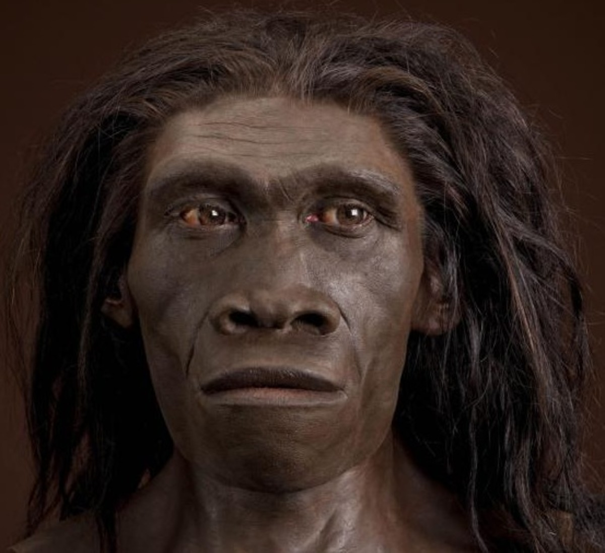 This is a reconstruction of a Homo erectus.