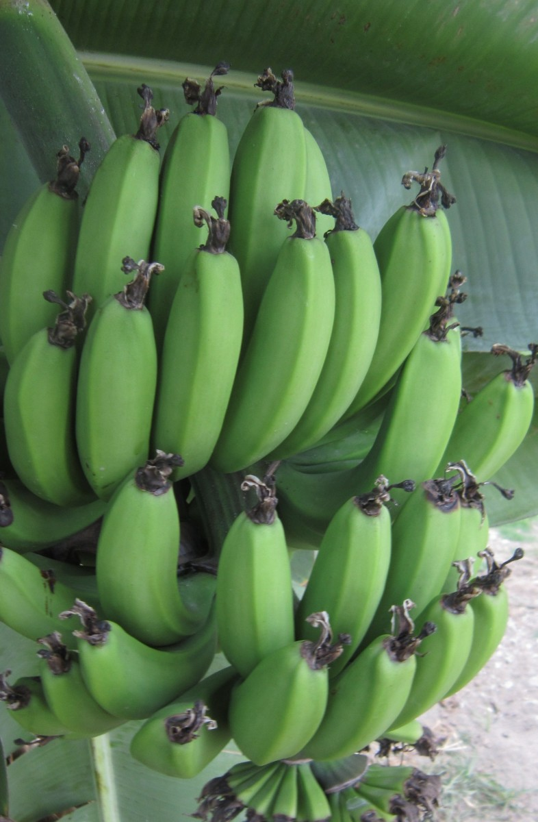 Green bananas growing in my yard