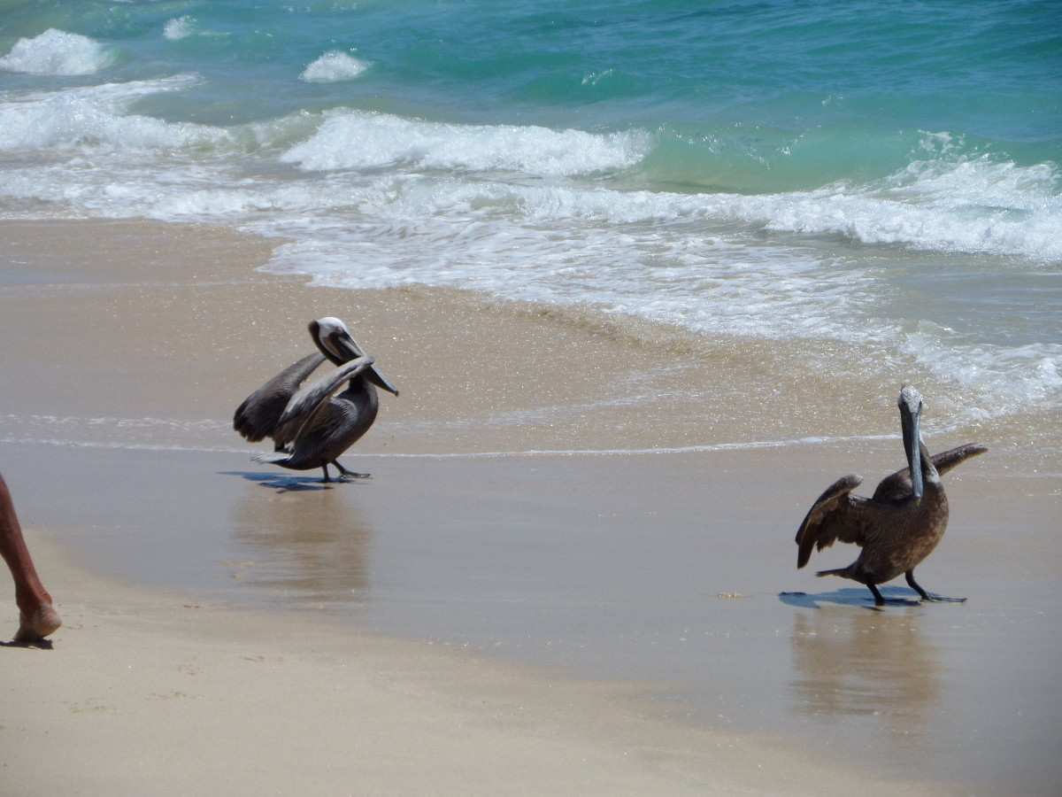 Enjoying the pelicans on Palmilla Beach.