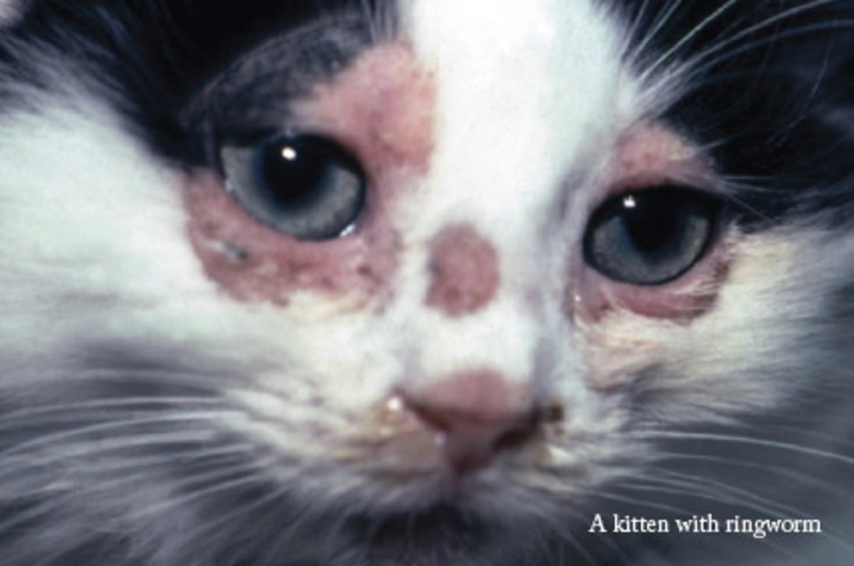 Kitten with Ringworm