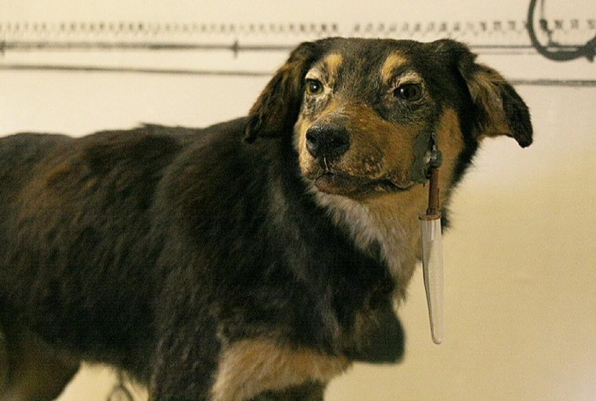 Pavlov's dog. Notice the saliva catch container.