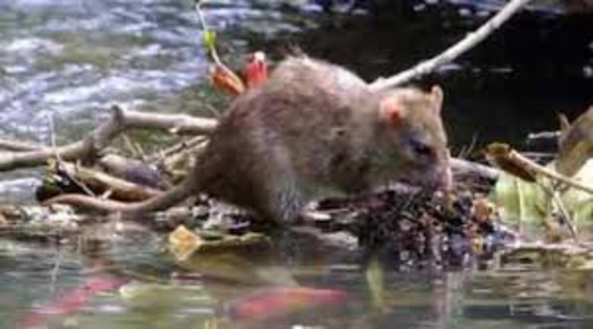 Water bodies contaminated with rodent urine