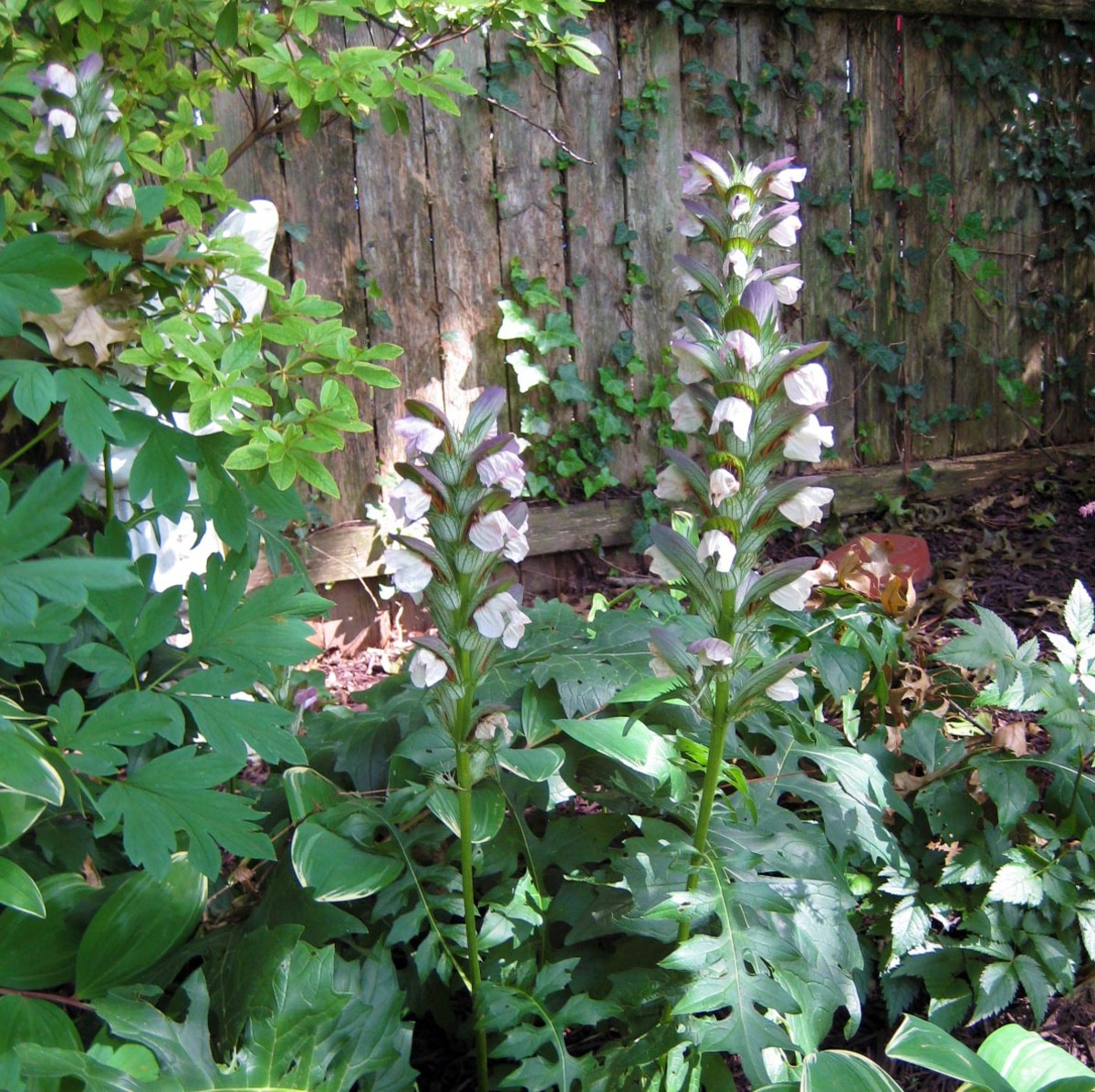 Bears Breeches Or Acanthus Mollis An Ancient Perennial Hubpages
