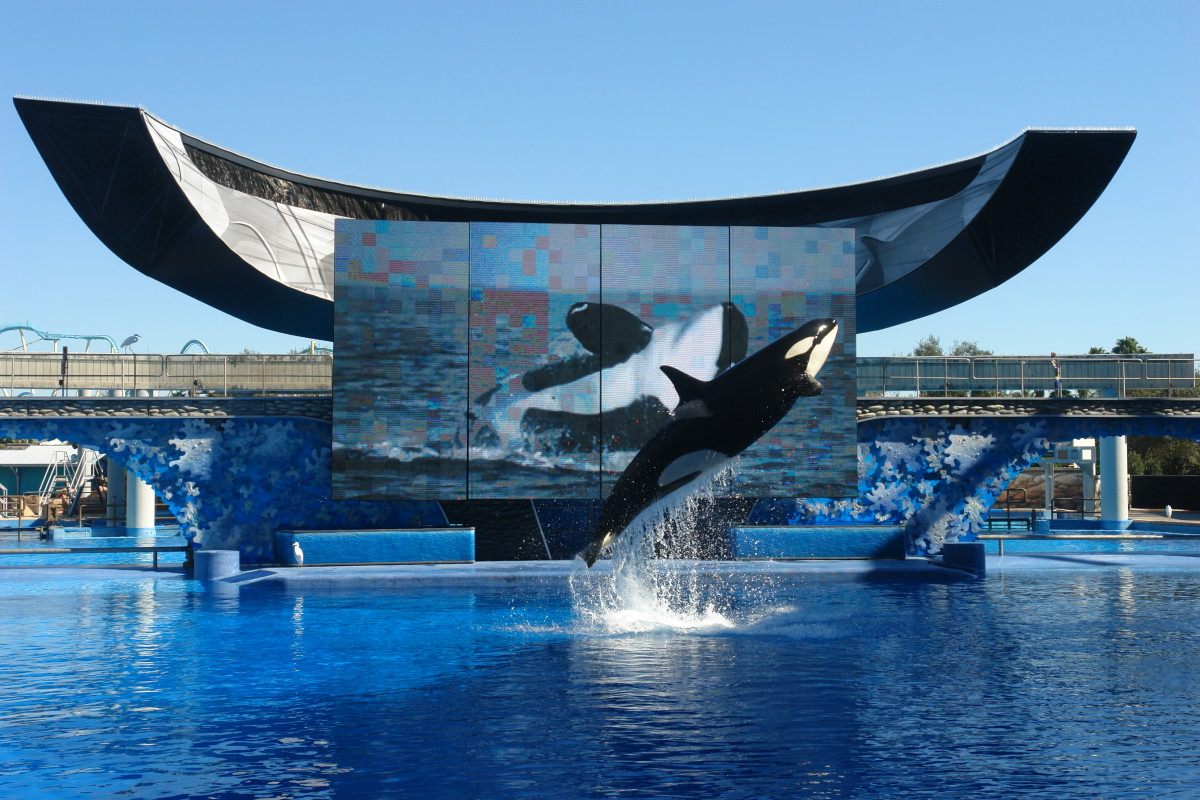 An orca show at Seaworld