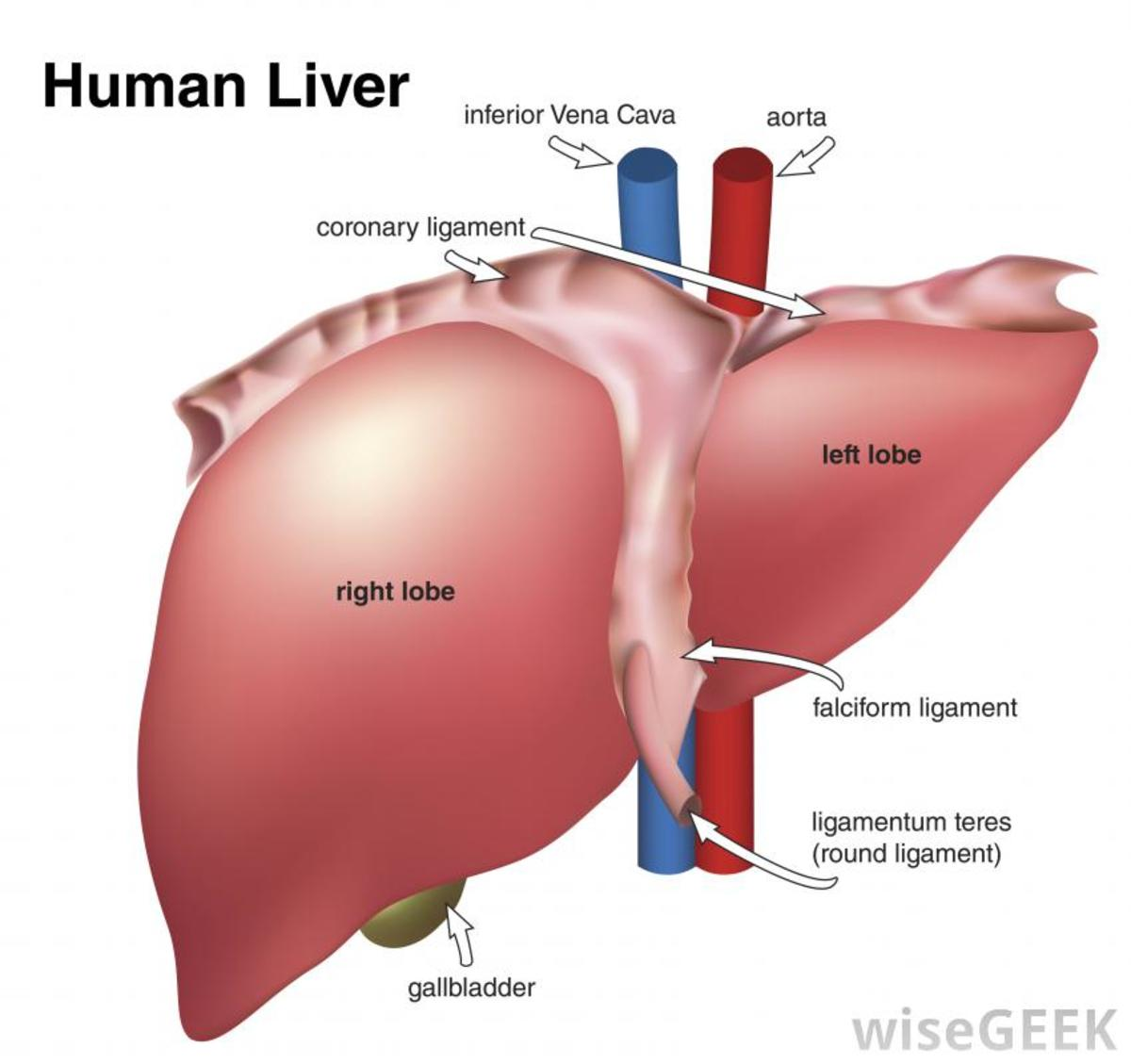 The pathology of the liver hubpages ccuart Images