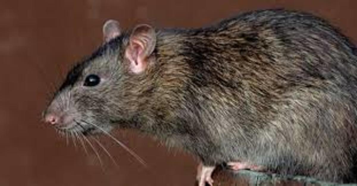how to get rid of brown rats