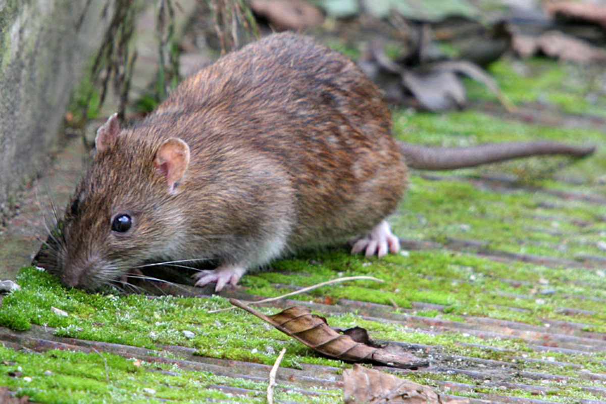 The Brown Rat - Rattus norvegicus, And How to Rid Yourself Of Their Presence.