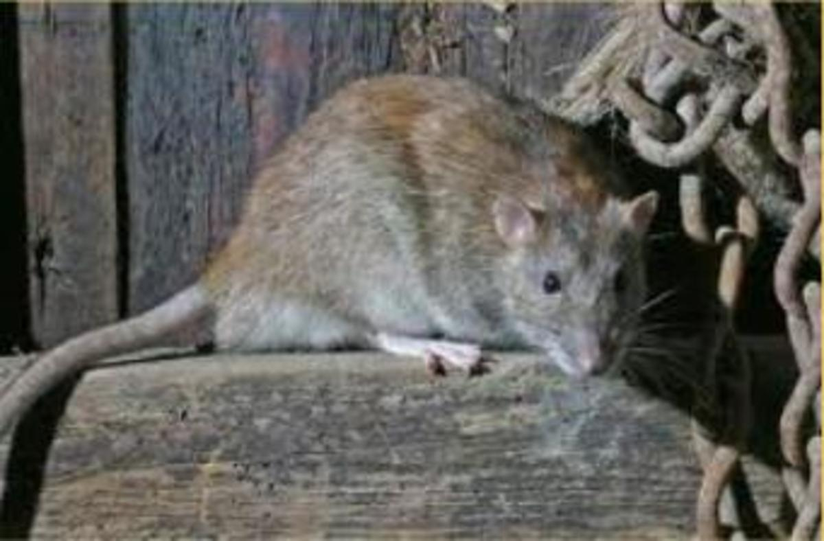 the-brown-rat