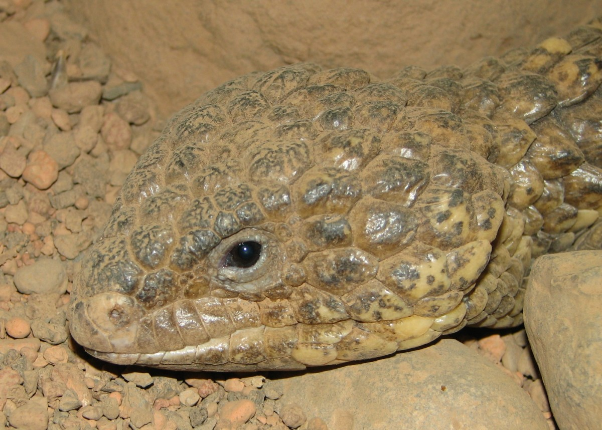 Shingleback skinks
