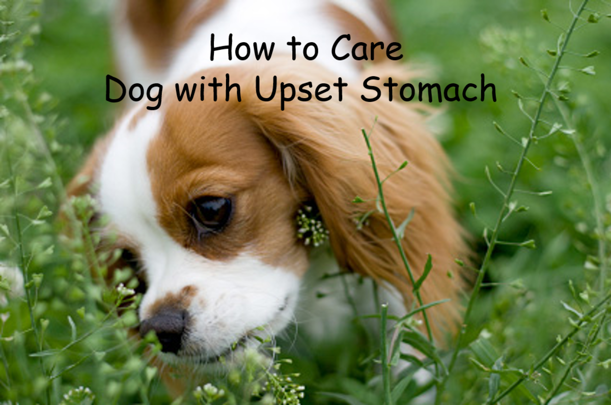 Essential Care For Dog With Upset Stomach Or Diarrhea