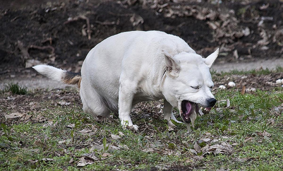 Dog upset stomach   Dog vomit