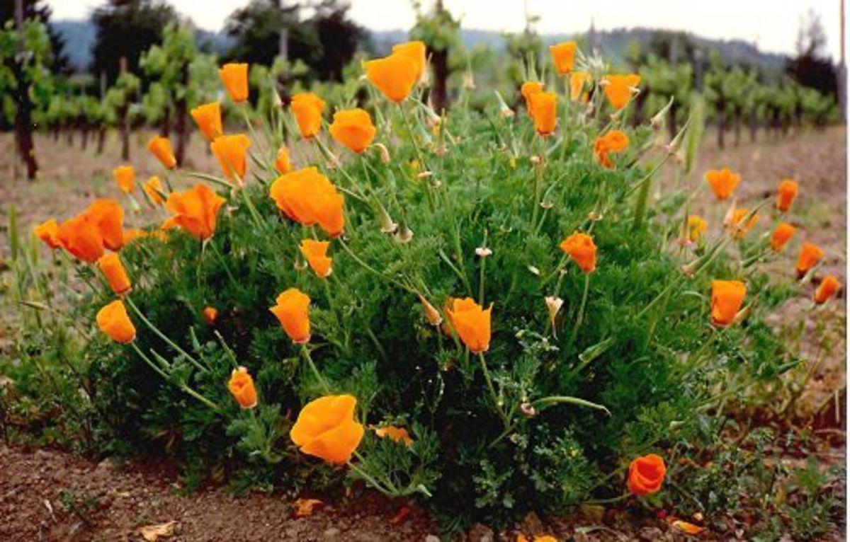 The California Poppy, Eschschoizia Californica is State Flower