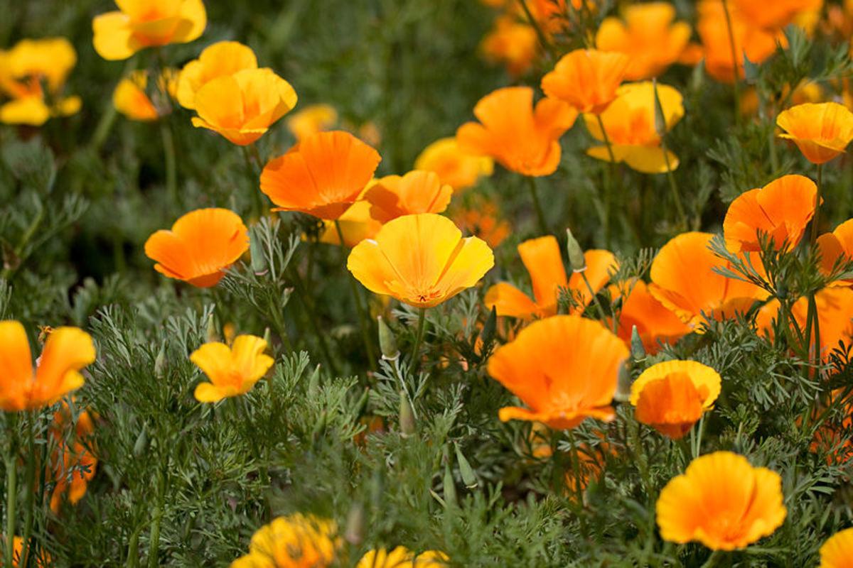 Masses of California Poppies