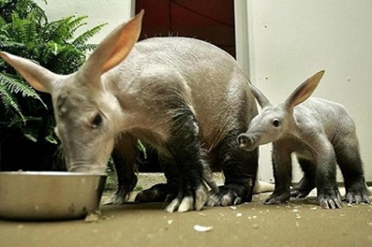 A pair of Aardvarks
