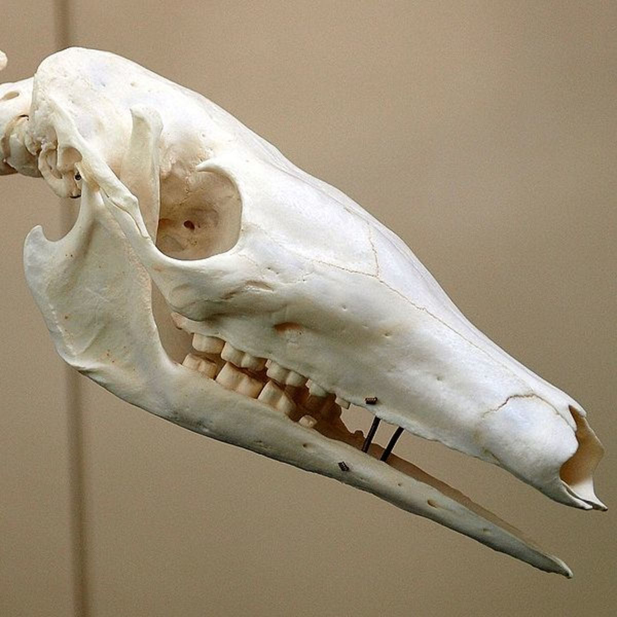 View of teeth in an aardvark skull