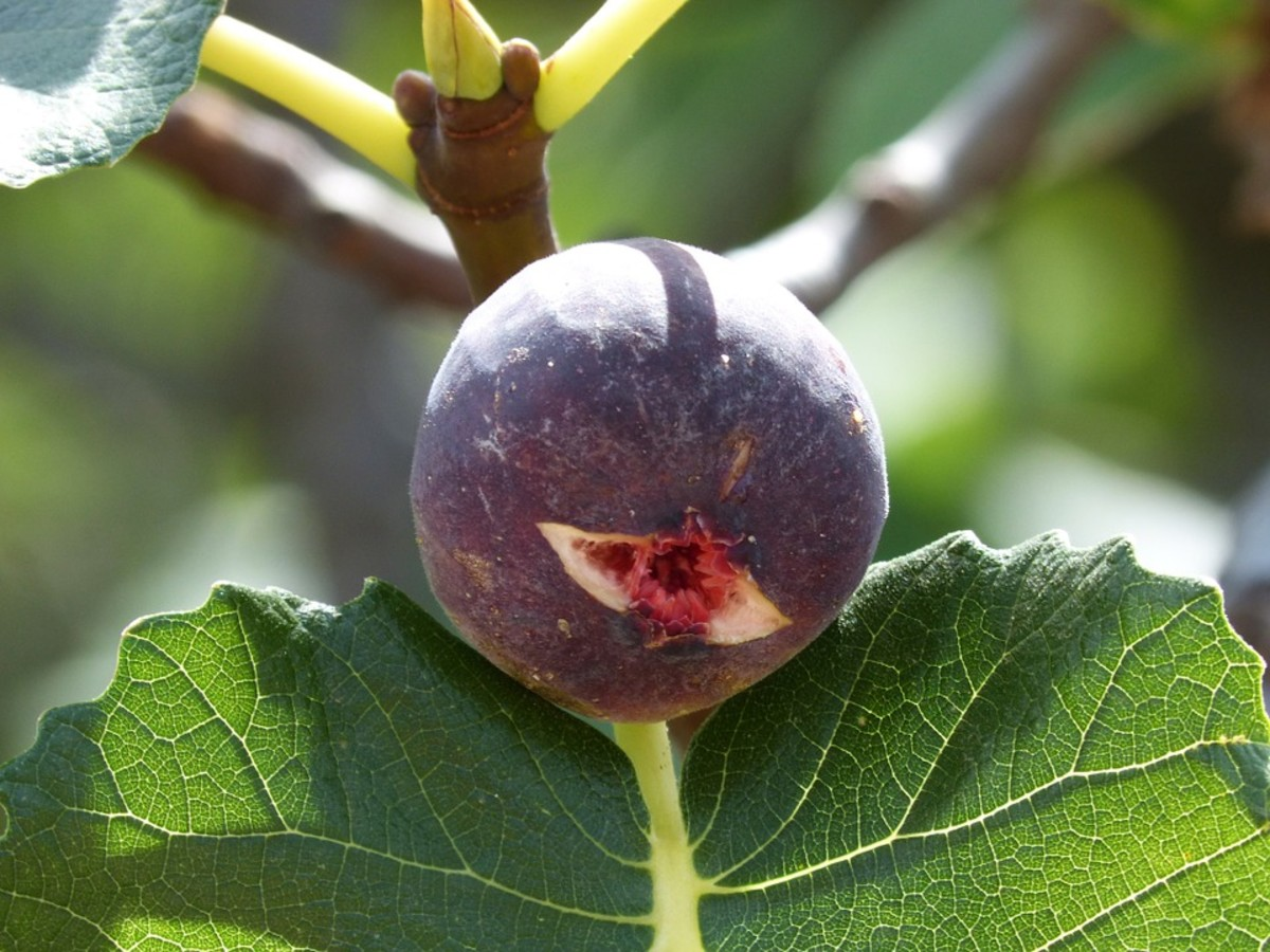 Nut and Fruit Trees for Hot Dry Climates