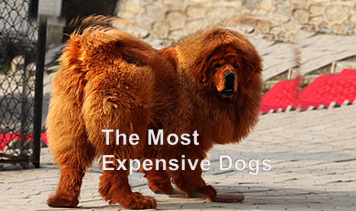 Top 10 Most Expensive Asian Dogs