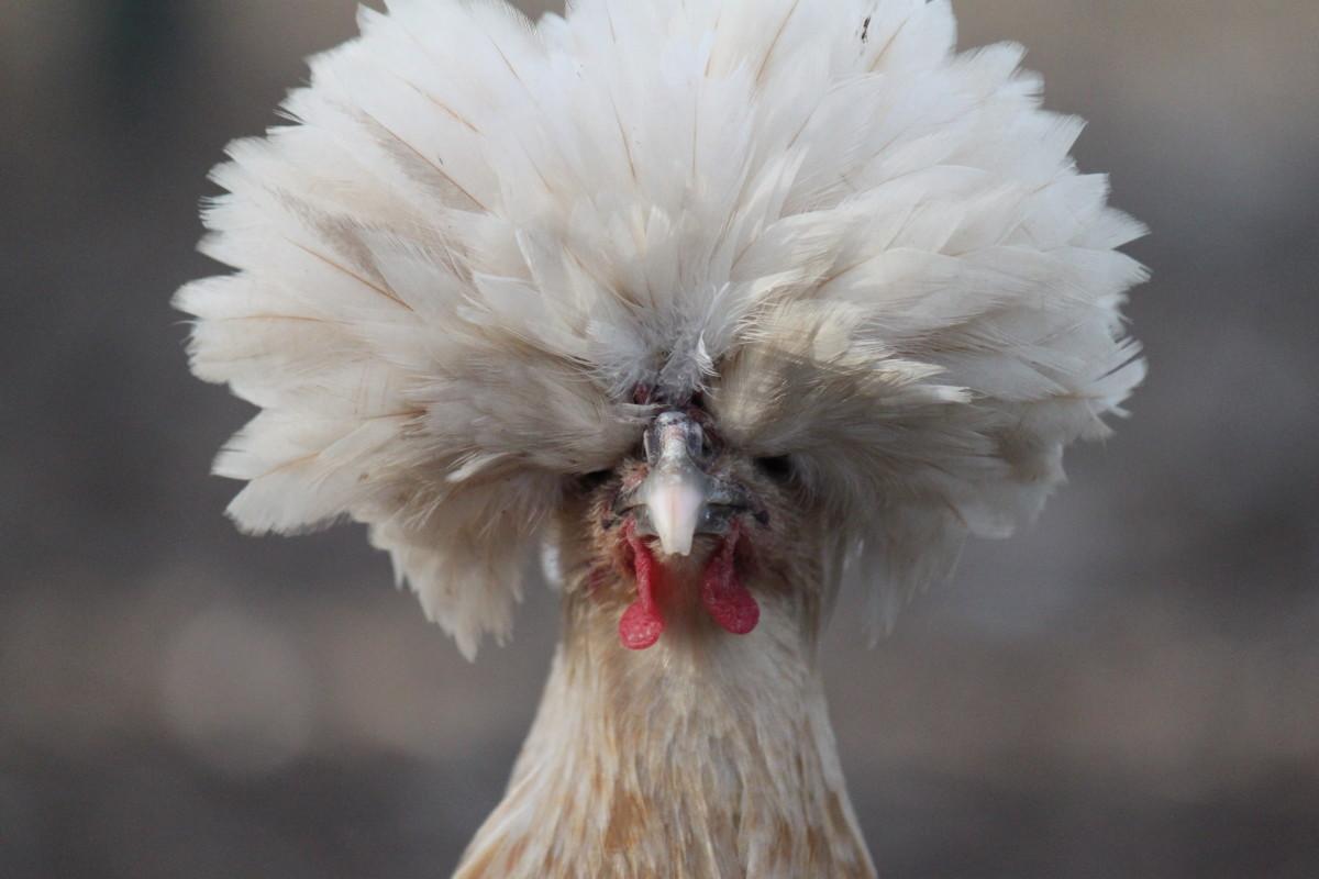 Buff laced polish hen
