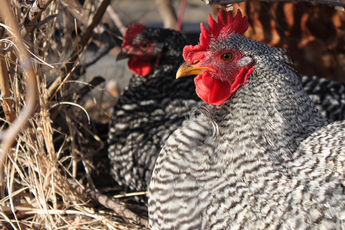 Barred rock cockerel and pullet