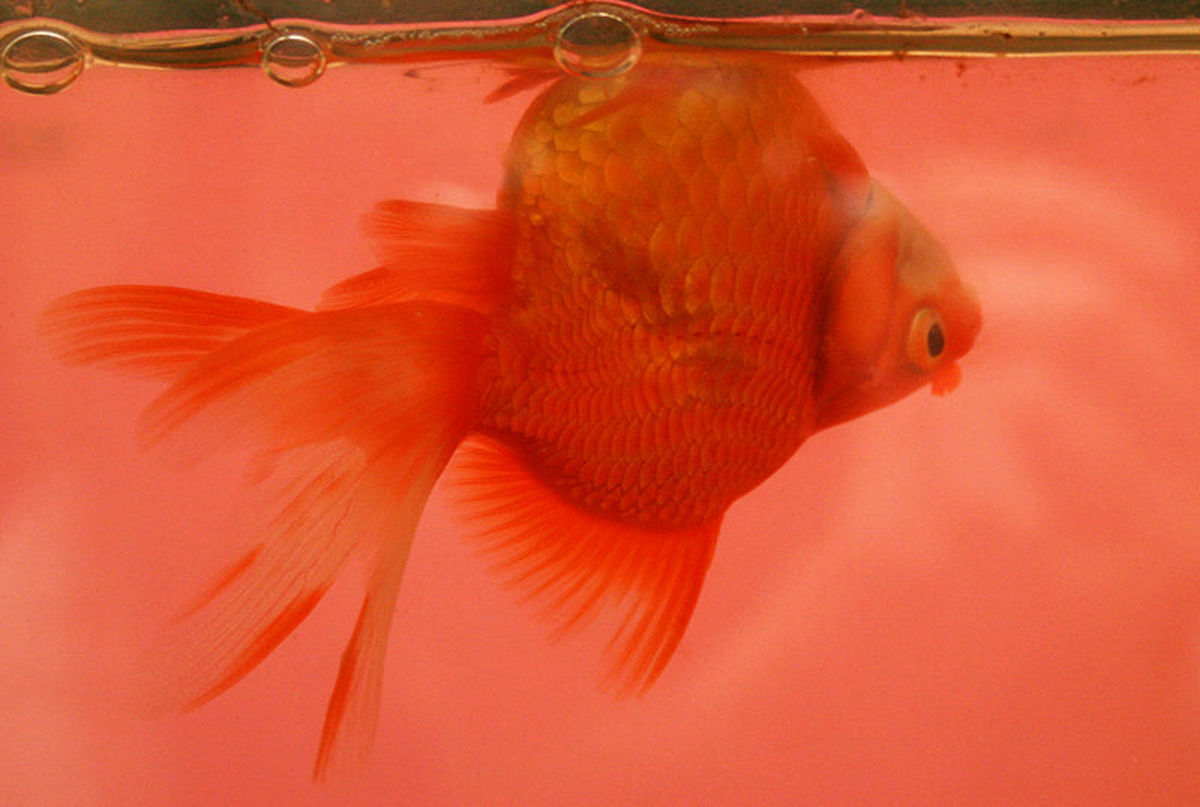 Ryukin goldfish with swim bladder disease