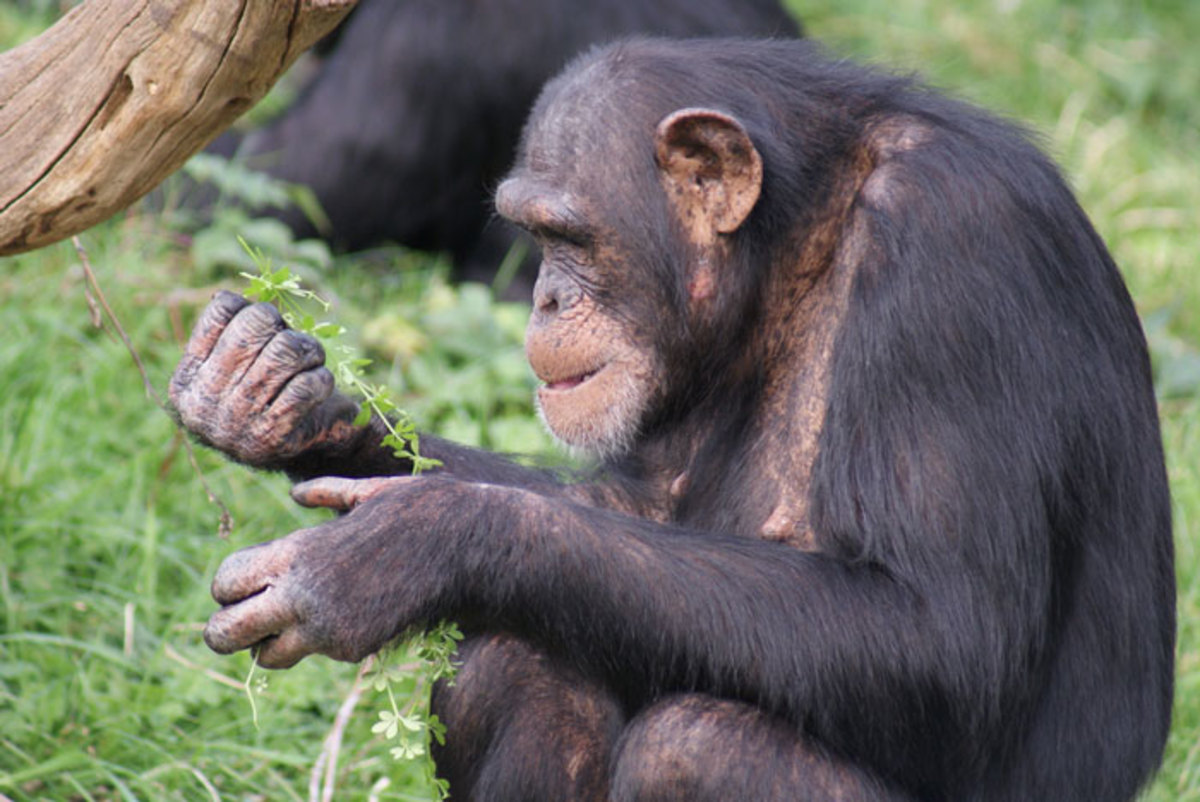 Healing herbs eaten by Chimp