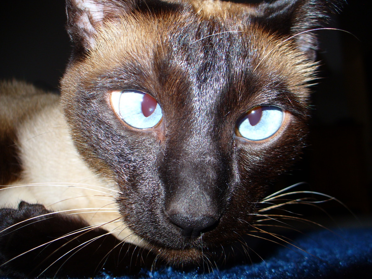 Many Siamese cats are cross-eyed but this does not affect their health. In fact Siamese are generally long lived - up to twenty years.