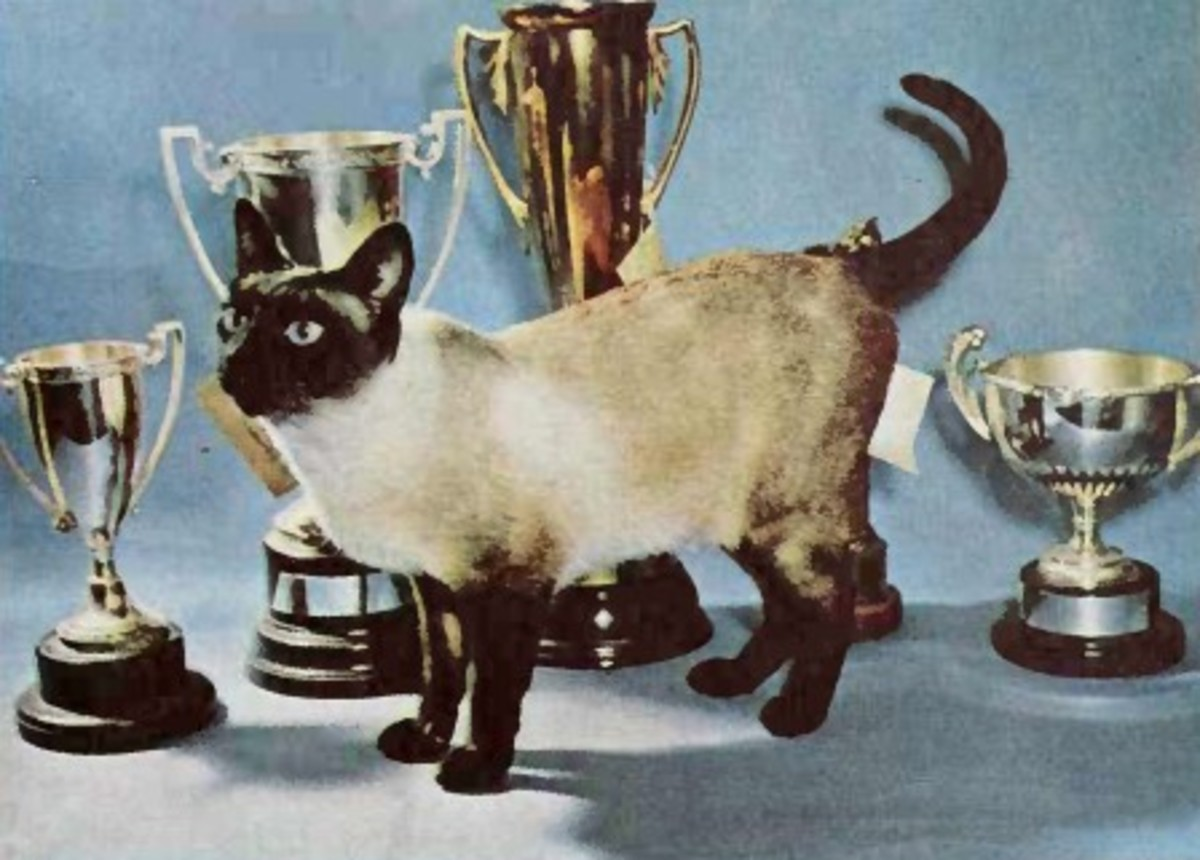 This seal point Siamese cat is displayed with the trophies it won back in the 1960s