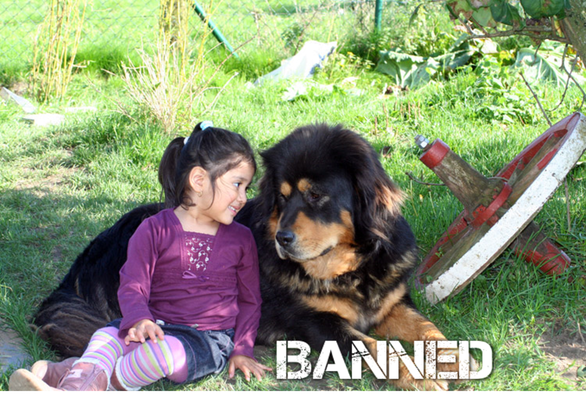 7 Countries Where Tibetan Mastiff Dogs Are Banned or Restricted