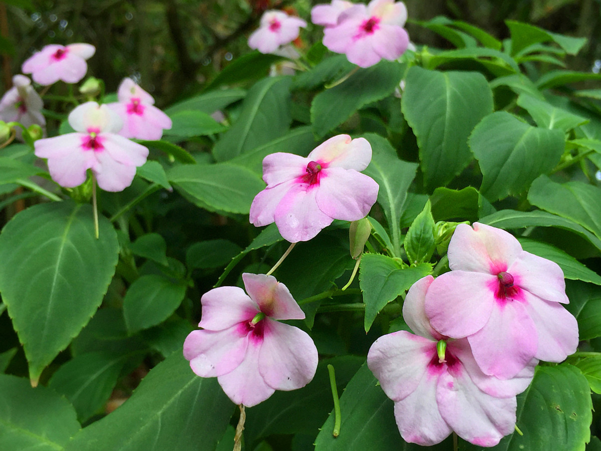 Light pink Impatiens makes a lovely flower bed, especially for shaded areas in the garden.