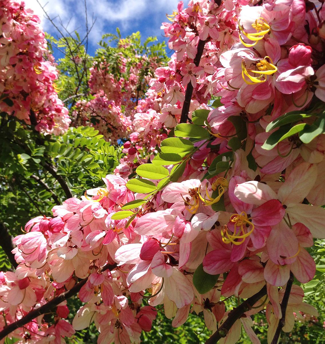 Pink Rainbow Shower Tree in full bloom.