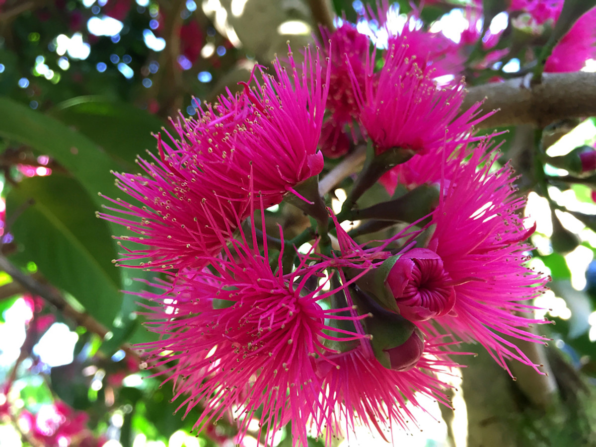 Mountain Apple is a popular fruit tree in Hawaii, also known for its pretty flowers.