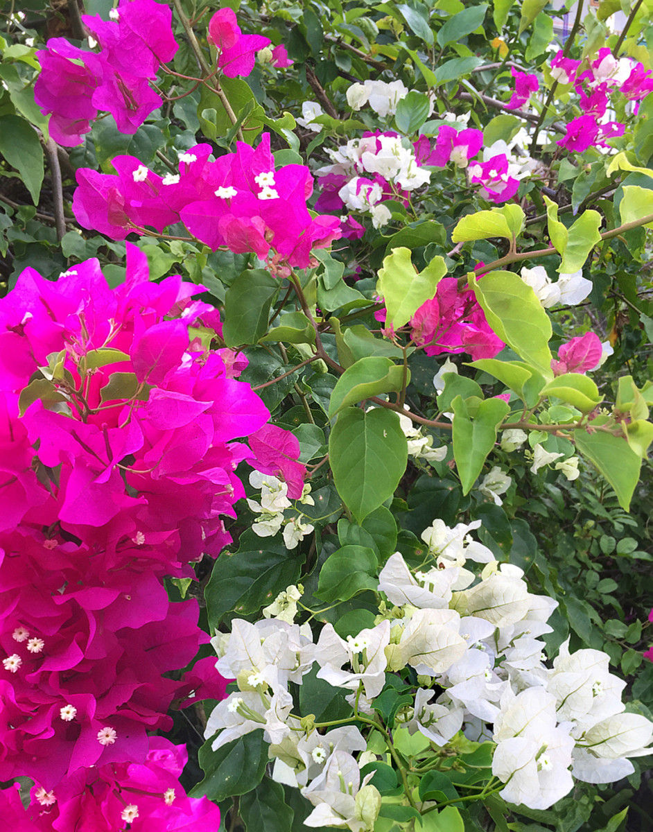 Bougainvillea prefers full sun and is drought tolerant.