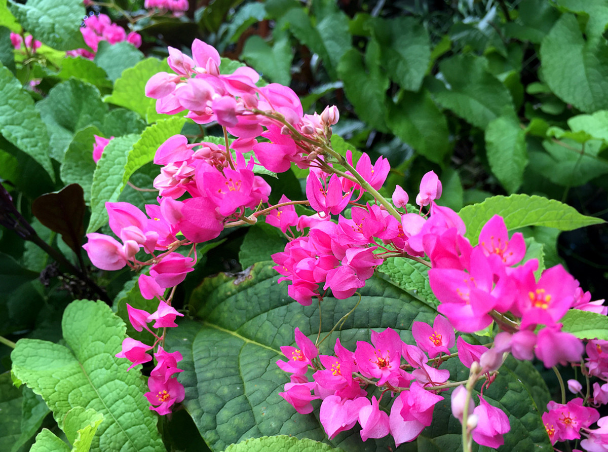 Pink Coral Vine is another prolific climber with strings of dainty, small flowers.