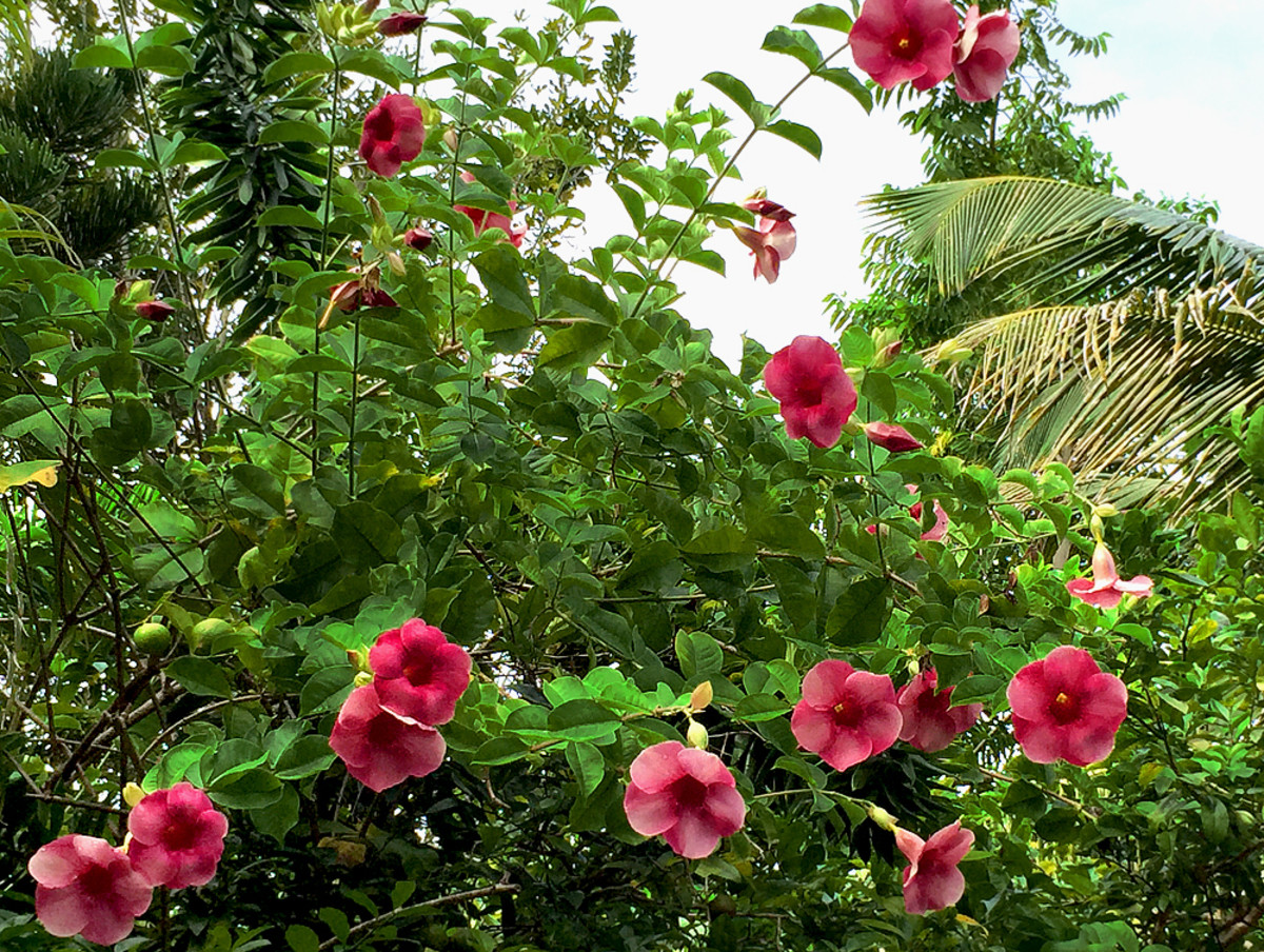 Allamanda is a prolific climber, this variety has deep rose color flowers.