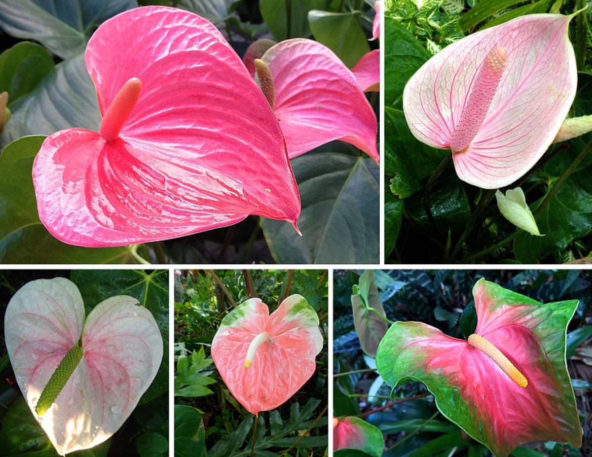 Different pink varieties of Anthurium, they also make great cut flowers.