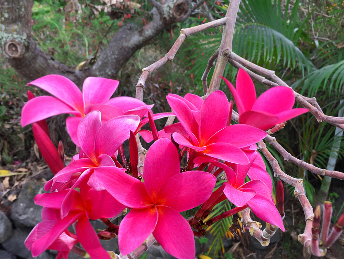 Plumeria with vivid magenta flowers.