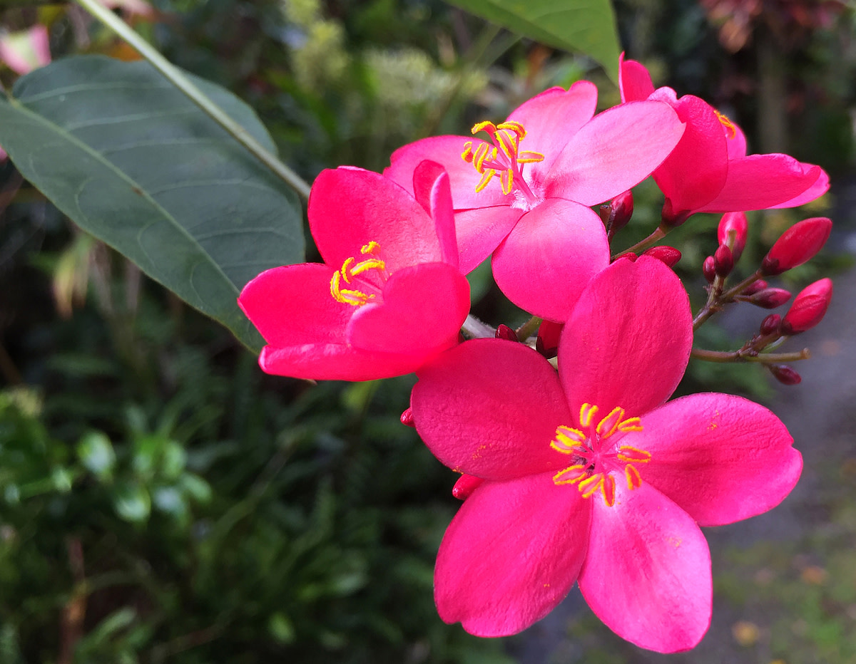 Spicy Jatropha flowers in deep fuchsia.