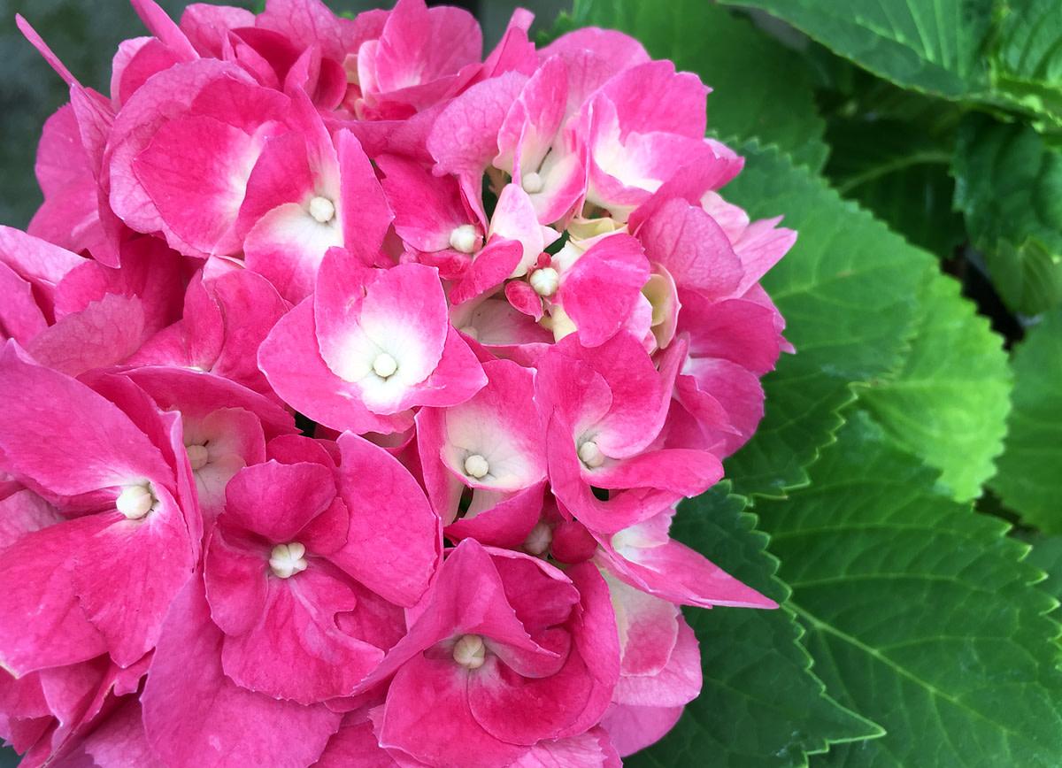Hydrangea with its showy pink flowerhead.