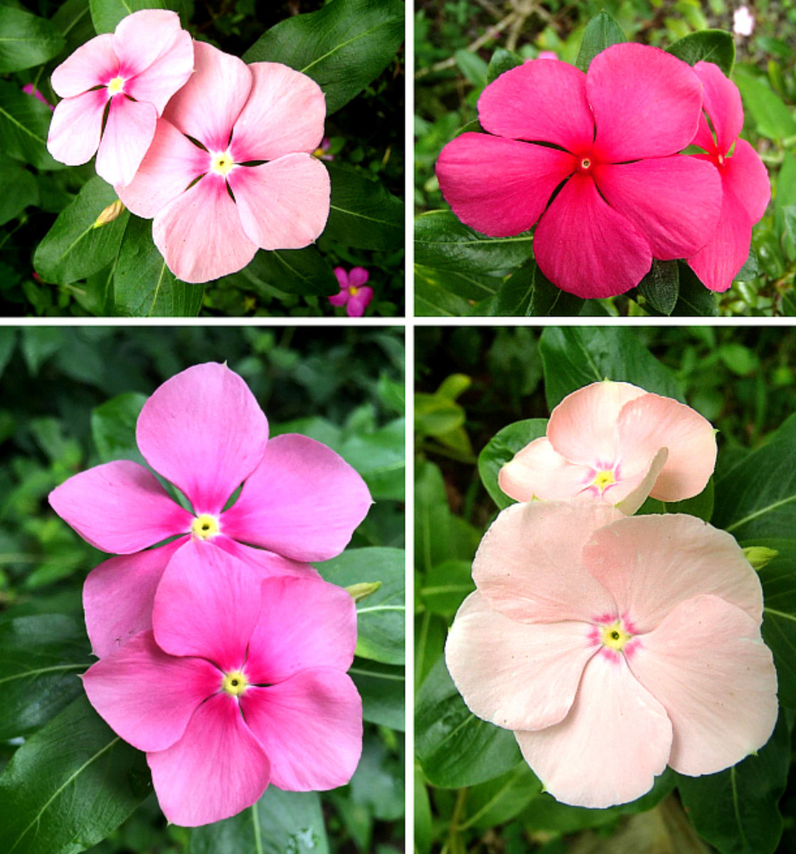 Vinca or Madagascar periwinkle has numerous pink varieties.