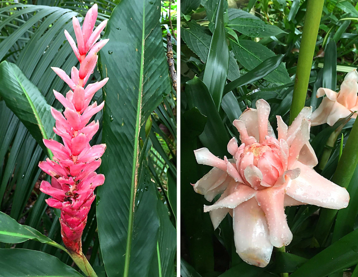 Hawaiian Pink Ginger (left) and Pink Torch Ginger (right).