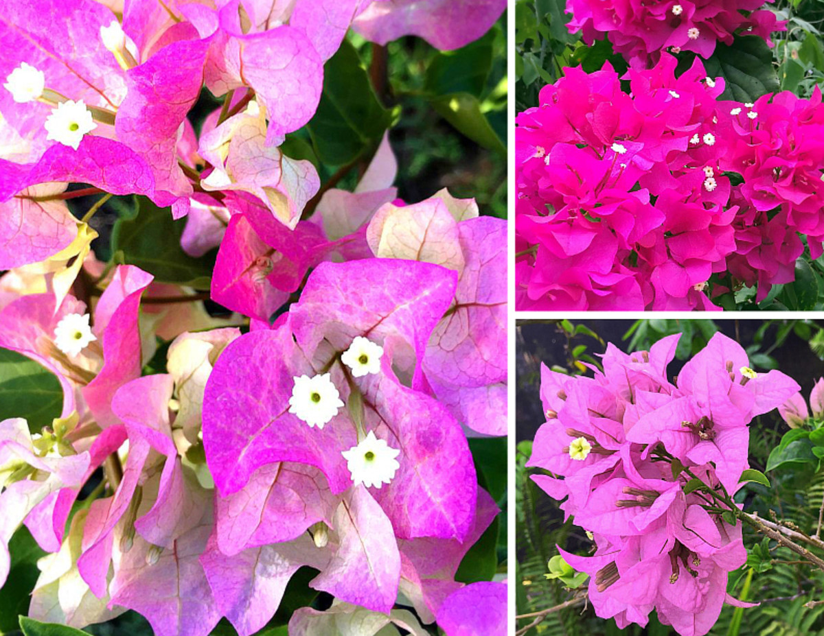 Bougainvillea comes in many different shades of pink.